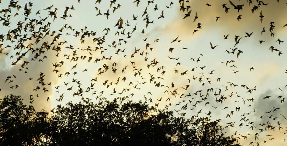 A colony of bats flocks out of the Bracken Cave, where millions of the winged creatures take up residence each year. Photo: Nature Conservancy / Courtesy Photo