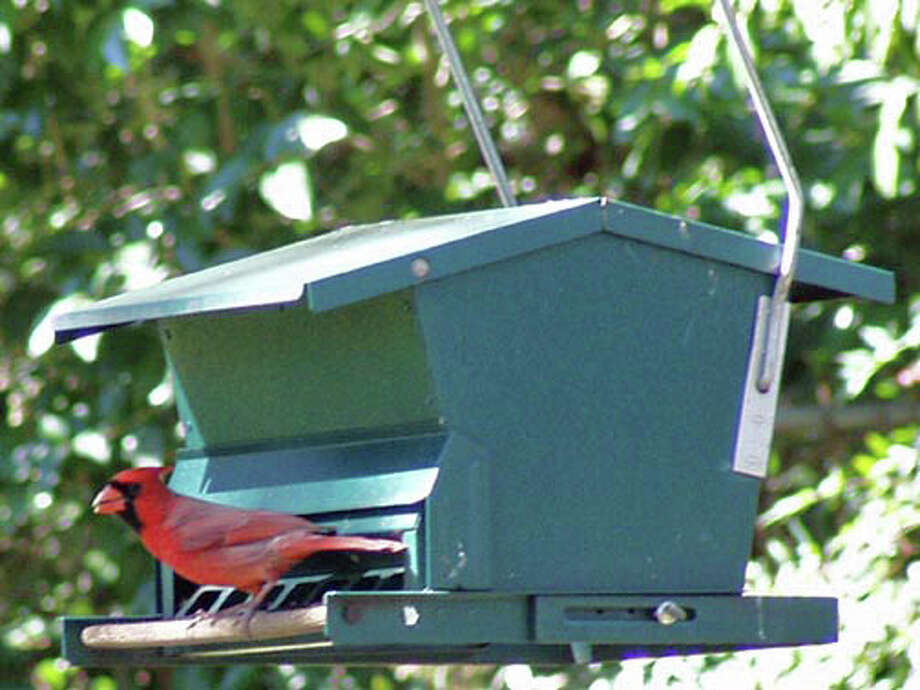Feed safflower seed to attract birds such as cardinals but discourage opportunistic squirrels. Photo: Courtesy Forrest W. Appleton