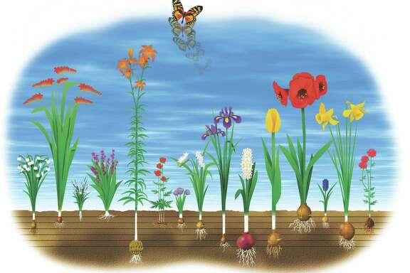 bulb illustration.     HOUCHRON CAPTION (10/18/2014):   Snowflake, Crocosmia, Ipheion, Bletilla, Lily, Anemone, Crocus, Freesia, Dutch iris, Hyacinth, Tulip, Amaryllis, Muscari, Daffodil and Ranunculus bulb plants.
