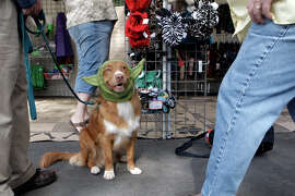 Sky, an 8-month-old Tolling Retriever, looks up at her owners Joanne Blum and Mike Hardy, as they have her try on a yoda hat at the Harvest Moon Classic Dog Show at the Alameda County Fair Grounds in Pleasanton.