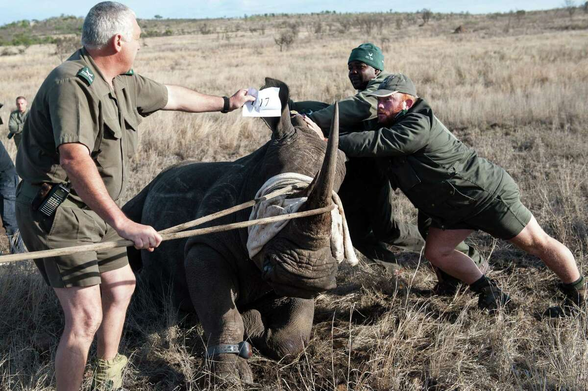 Dr Marius Kruger (left) and memebers of the Kruger National Park Veterinary Wildlife Services keeps a white rhinoceros balanced during a relocation program on October 17, 2014. The Kruger National Park in South Africa darted four rhino that will be relocated to a secret safe area in order to protect the animals against poaching.