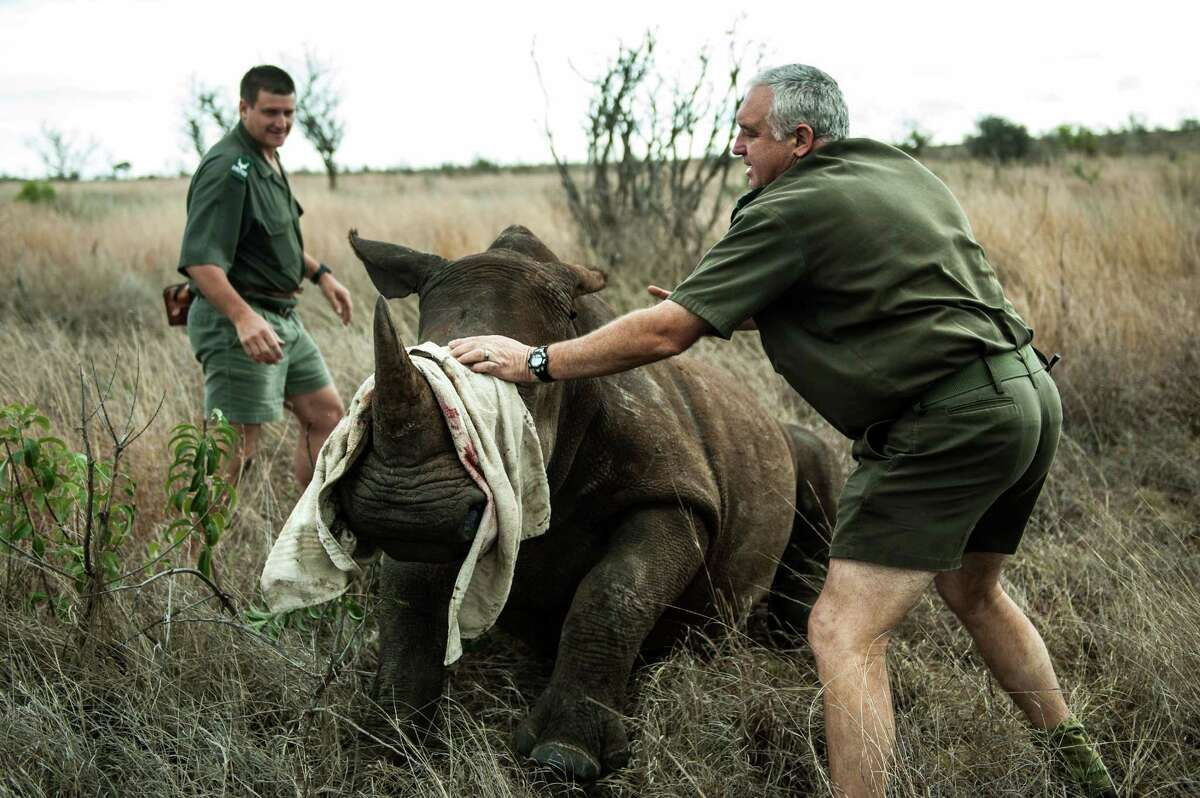 Opperations Manager Marius Kruger (right) and Kruger national Park head veterinarian Dr. Marcus Hofmyer blindfold a young white rhinoceros to minimize stress during a capture on October 17, 2014. The Kruger National Park relocated four rhinoceros from a high risk poaching area to a safer area as part of ongoing strategic rhinoceros management plan.