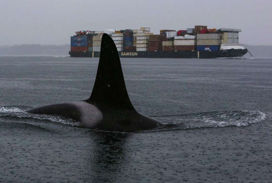 An orca surfaces as members of three resident pods swim in Puget Sound and 