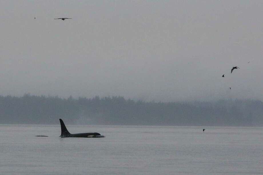 An orca surfaces as members of three resident pods swim in Puget Sound and  Elliott Bay along the Seattle waterfront. Photo: JOSHUA TRUJILLO, SEATTLEPI.COM / SEATTLEPI.COM