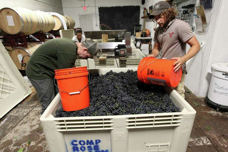 Compass Rose Cellars wine maker Rob Nida (right) and his friend, Collin Russell, begin scooping up Touriga Nacional grapes to place in a separator in Mason, Texas on Saturday, Aug. 16, 2014. Nida picked up the grapes from grape grower Dan McLaughlin who runs Robert Clay Vineyards. Photo: Kin Man Hui, San Antonio Express-News / ©2014 San Antonio Express-News