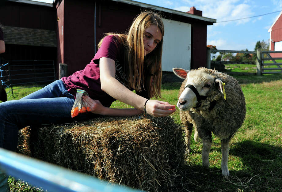 Student Emily Sarnecky feeds a sheep, during the Halloween Family Festival at the Trumbull Agriscience Center in Trumbull, Conn. on Saturday October 18, 2014. Families got to take part in a variety of fun activities like a haunted house, visit with the center's animals, a tractor ride, to name just a few. Photo: Christian Abraham / Connecticut Post
