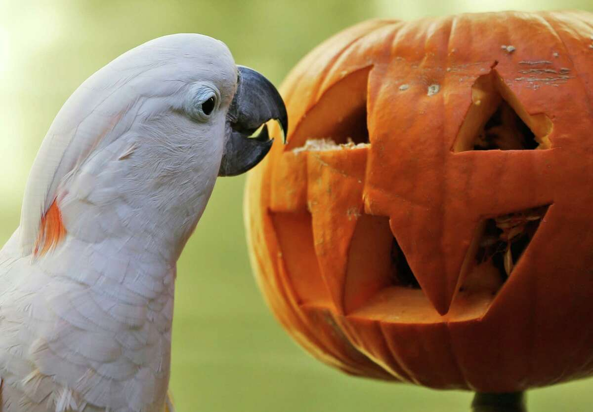 Moluccan cockatoo Zeppy looks for treats inside a pumpkin at the Oklahoma City Zoo in Oklahoma City, Friday, Oct. 17, 2014. The Zoo was established in 1904 as a small menagerie at Wheeler Park.