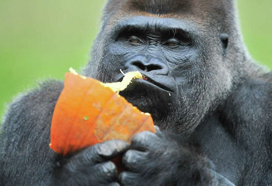 Gorilla Koko enjoys a pumpkin tossed into his habitat at the Detroit Zoo, on Wednesday, Oct. 15, 2014 in Detroit.  The zoo's inhabitants were given pumpkins and other seasonal munchies to eat, play with, tear apart, roll around in and smash. The goal is to stimulate the natural behaviors of the animals. Photo: Daniel Mears, Associated Press / Detroit News