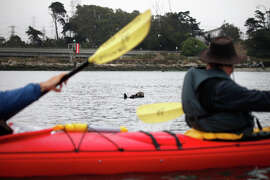 A southern sea otter floats on its back in the Elkhorn Slough on July 30, 2014 in Moss Landing, Calif. In the foreground, Giancarlo Thomae, a marine biologist with Sanctuary Cruises, and Tom Stienstra, a Chronicle reporter, paddle their kayak.