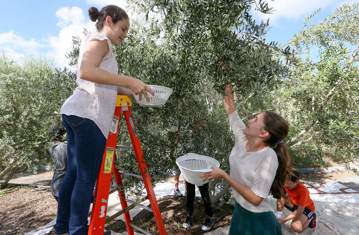 Gaby Garza, left, 12, and Laura Pollock, 12, enjoy the fruits of their endeavors as they pick olives with other Tejeda Middle School history students in the school's olive grove on History Hill during harvest day.