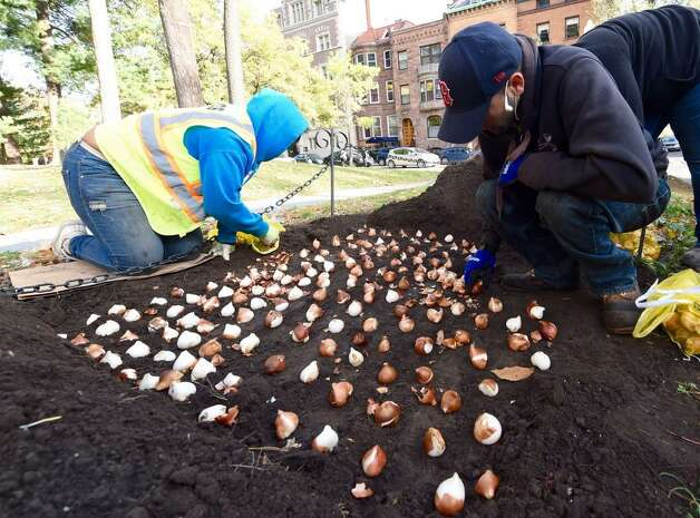 Department of General Services workers plants some of the 130,000 tuilip bulbs in Albany's Washington Park. Seven months from now, the flowers will blossom and give Washington Park the tulips for the city's Tulip Fest. (Skip Dickstein / Times Union)