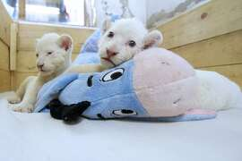 Two three-week-old white lion cubs play with a stuffed donkey toy at Belgrade Zoo on October 20, 2014. The two white lion cubs, an extremely rare subspecies of the African lion, were born at the Belgrade Zoo. They are being bottle fed by zoo keepers after they were rejected by their mother after birth.