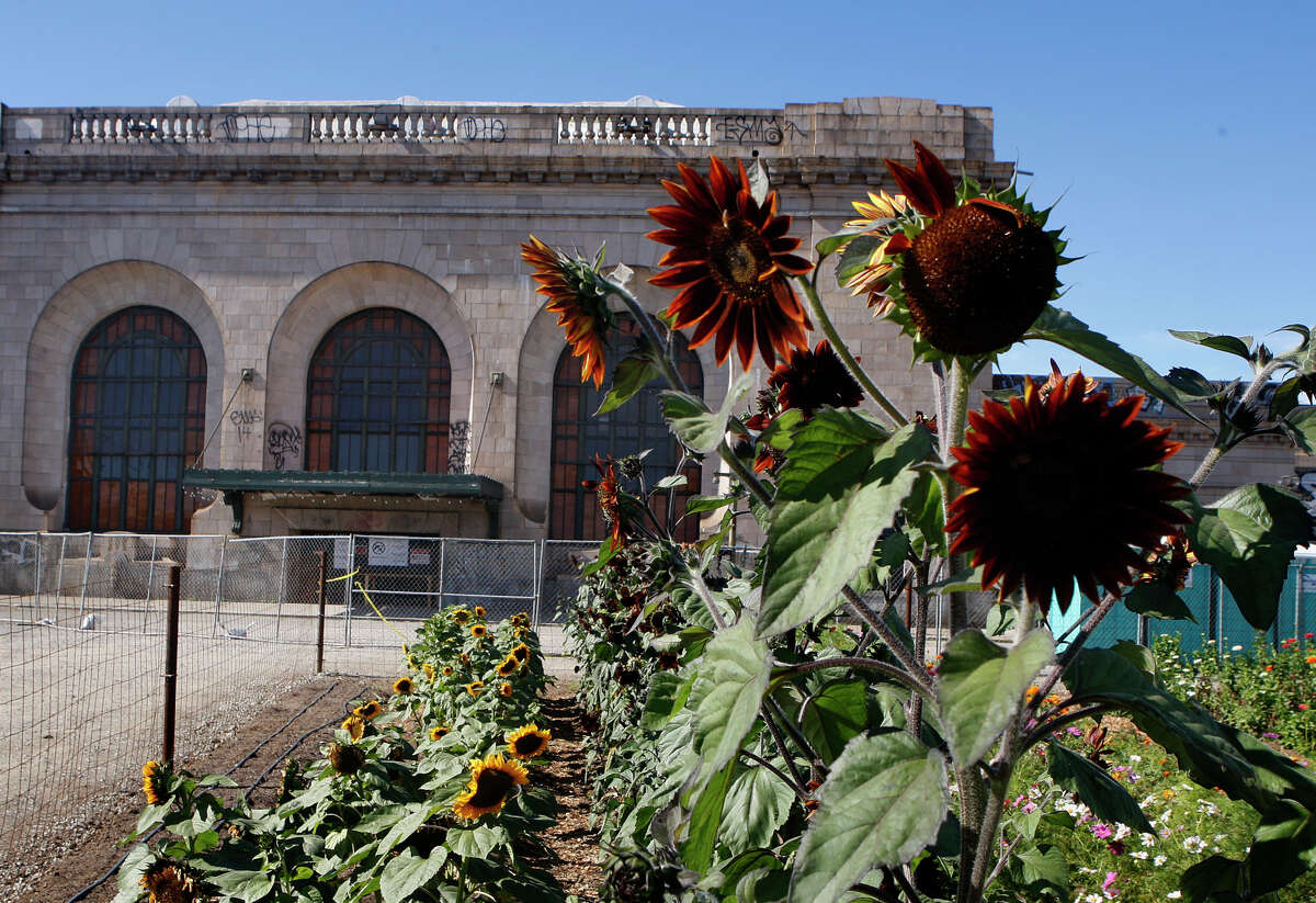 Sunflowers grow at WOW Farm in front of the old West Oakland train depot.
