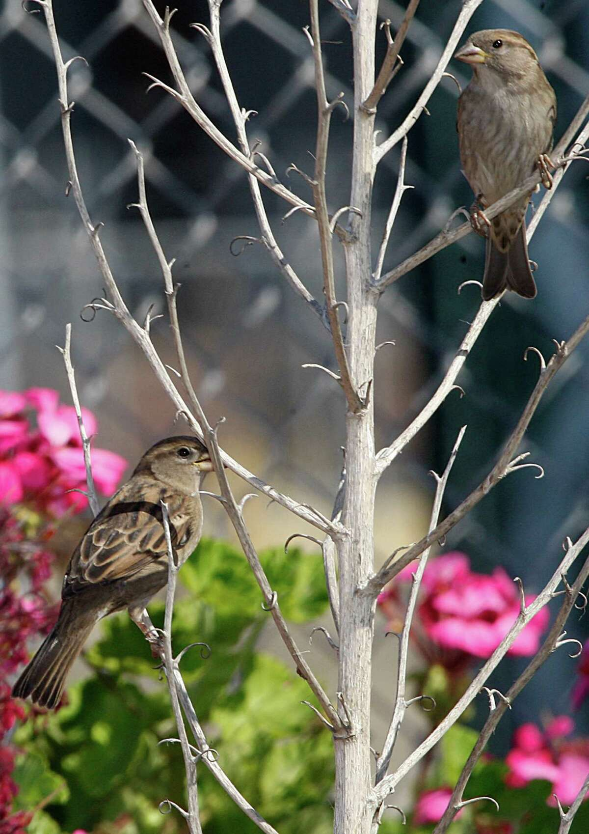 Sparrows hang out on plants at the old West Oakland train depot in Oakland, Calif., on Tuesday, October 7, 2014.