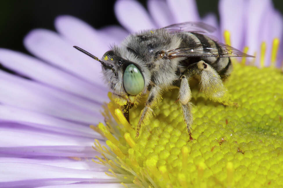 New Book Explores The Abcs Of California S Native Bees
