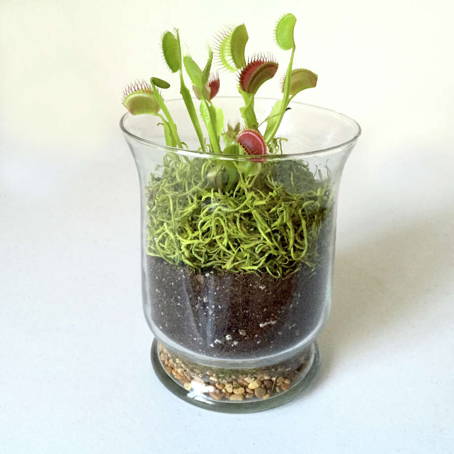 Something To Eat For Halloween A Carnivorous Plant Terrarium Sfgate