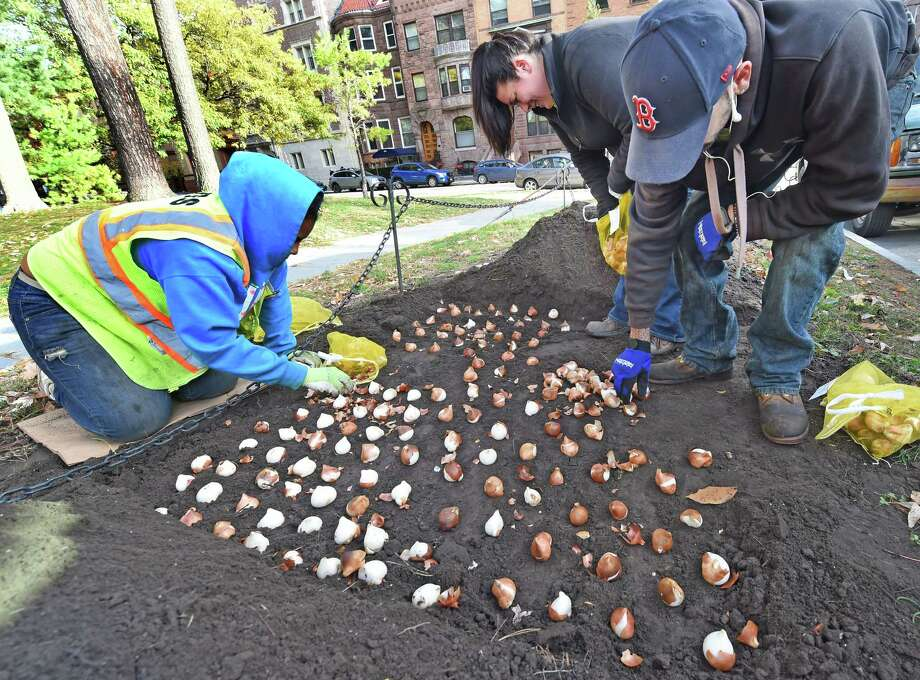 Malesha Cherry, left, Jena Commerford, center and Jeffrey Cooper, right, of the Albany Department of General Services plant some of the 130,000 new tulip bulbs in Washington Park  Monday morning, Oct. 20, 2014,  in Albany, N.Y.   (Skip Dickstein/Times Union) Photo: SKIP DICKSTEIN