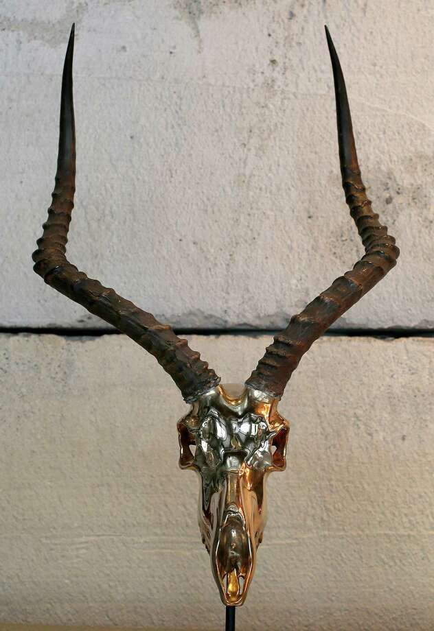 Ashley Tudor's impala skull. Photo: Brant Ward / The Chronicle / ONLINE_YES