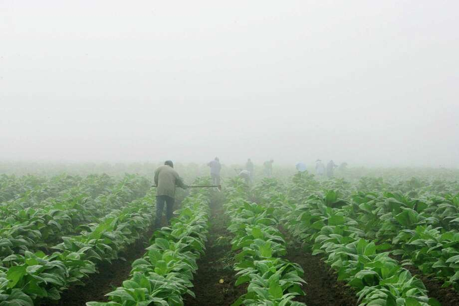 FILE - In this July 10, 2008 file photo, farm workers make their way across a field shrouded in fog as they hoe weeds from a burley tobacco crop near Warsaw, Ky. Two years after the Obama administration backed off a rule that would have banned children from dangerous agriculture jobs, advocates and lawmakers are trying anew to get kids off tobacco farms. The multi-pronged approach includes legislation to ban kids from working on such farms; pursuit of a narrower federal rule than the one that was scuttled; and public pressure on tobacco companies from lawmakers and health groups. (AP Photo/Ed Reinke, File) Photo: Ed Reinke, STF / ap