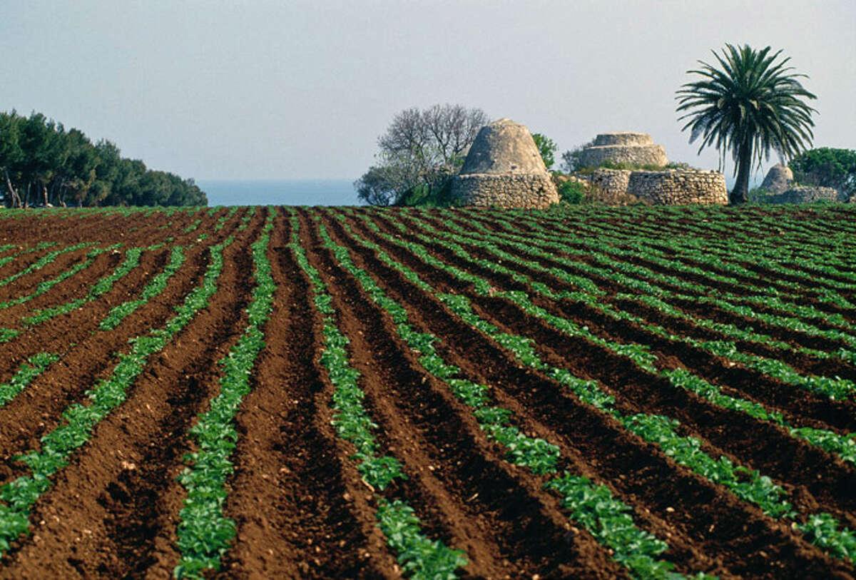 A Puglian olive grove