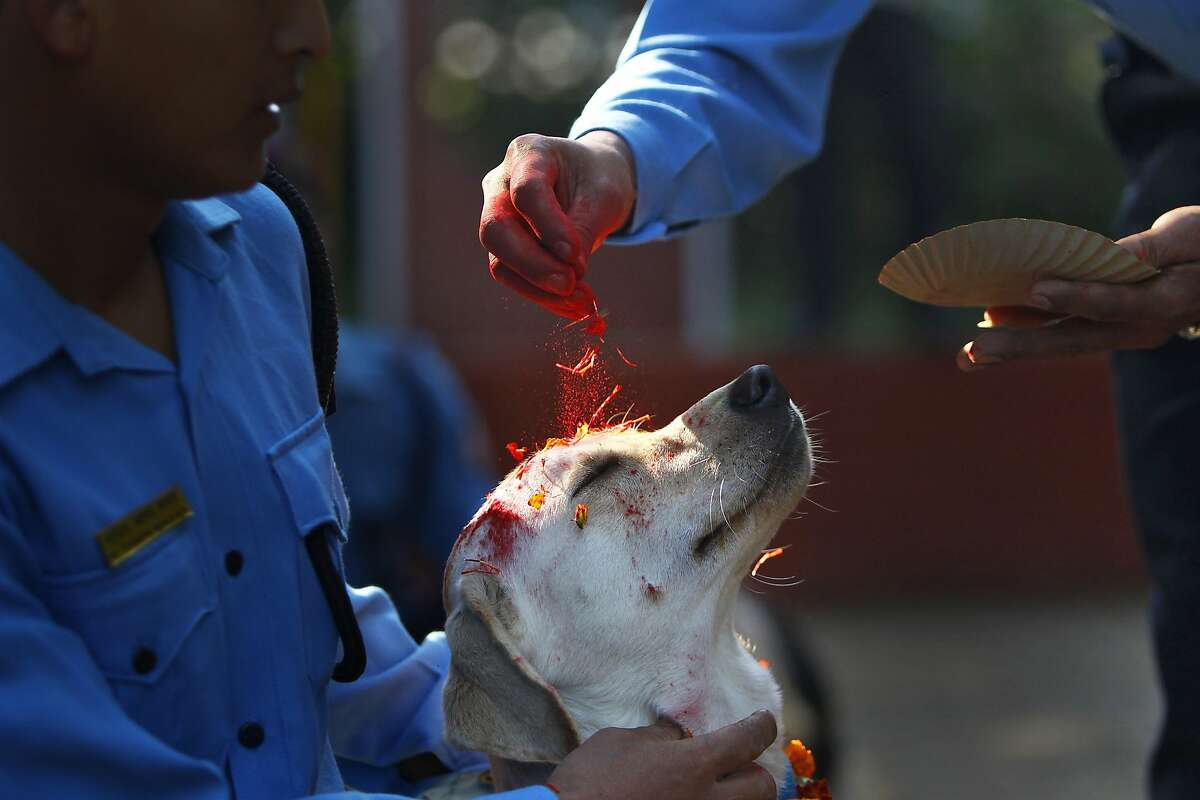 POWDER HOUND: He might not appreciate the vermillion dust and flower petals in the face, but this police canine does enjoy the increased attention at the Tihar festival in Katmandu. Dogs are worshipped to acknowledge their role in providing security during the festival, one of the most important Hindu celebrations in Nepal.