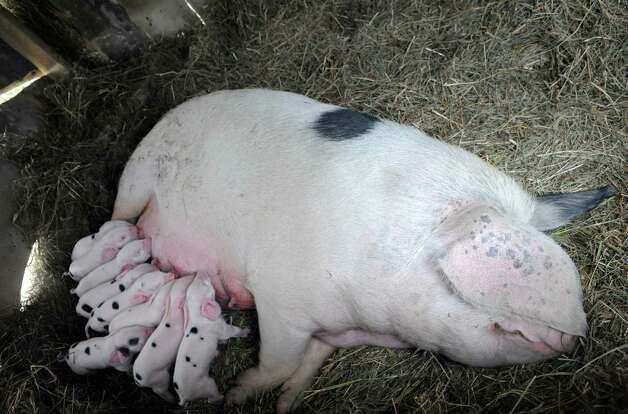 A mother pig with her new borns at Hill Hollow Farm on Thursday Sept. 25, 2014 in Petersburgh, N.Y.  (Michael P. Farrell/Times Union) Photo: Michael P. Farrell / 00028744A