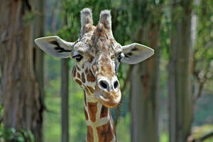 Six Flags' oldest giraffe, Nairobi, dies at age 25 - Photo