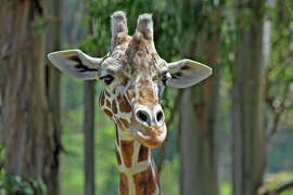 Nairobi, a 25-year-old reticulated giraffe, was euthanized at Six Flags Discovery Kingdom in Vallejo Tuesday Oct. 21, 2014 after officials said her quality of life diminished severely in her old age.