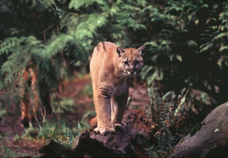 ADVANCE FOR SUNDAY, AUG. 9--FILE--A cougar strolls along a log in a protected cougar area of Northwest Trek, a wildlife park near Eatonville, Wash., in this 1998 photo. Once hunted nearly to extinction, cougars are on the rebound from the Pacific to theRockies in an ecological success story that's causing both celebration and nervous glances over the shoulder. Worries are growing that cougars are getting too comfortable around the booming human population that shares their habitat. (AP Photo/NorthwestTrek, Dick Milligan) Photo: DICK MILLIGAN / NORTHWEST TREK
