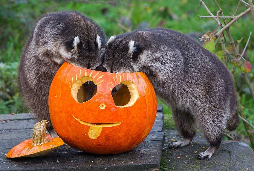 WELL, I GUESS WE KNOW WHERE THEY HID THE RACCOON CRACK: Trick-or-treating begins early at the zoo in Hanover, Germany.