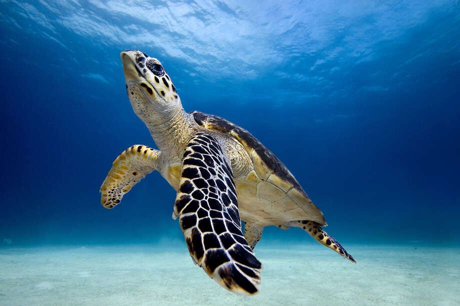 Hawksbill turtle Photo: James R.D. Scott, Wire Photo / Flickr Select
