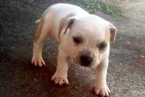 Dog gone: Burglars make off with Napa puppy - Photo