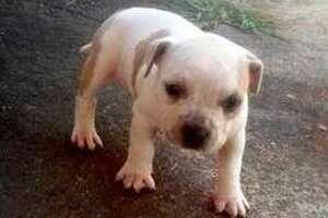 Dog gone: Burglars make off with Napa puppy - Photo