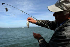 Leonid Presler of San Francisco checks on a small fish he caught while fishing off Torpedo Wharf at Crissy Field on Oct. 22, 2014.