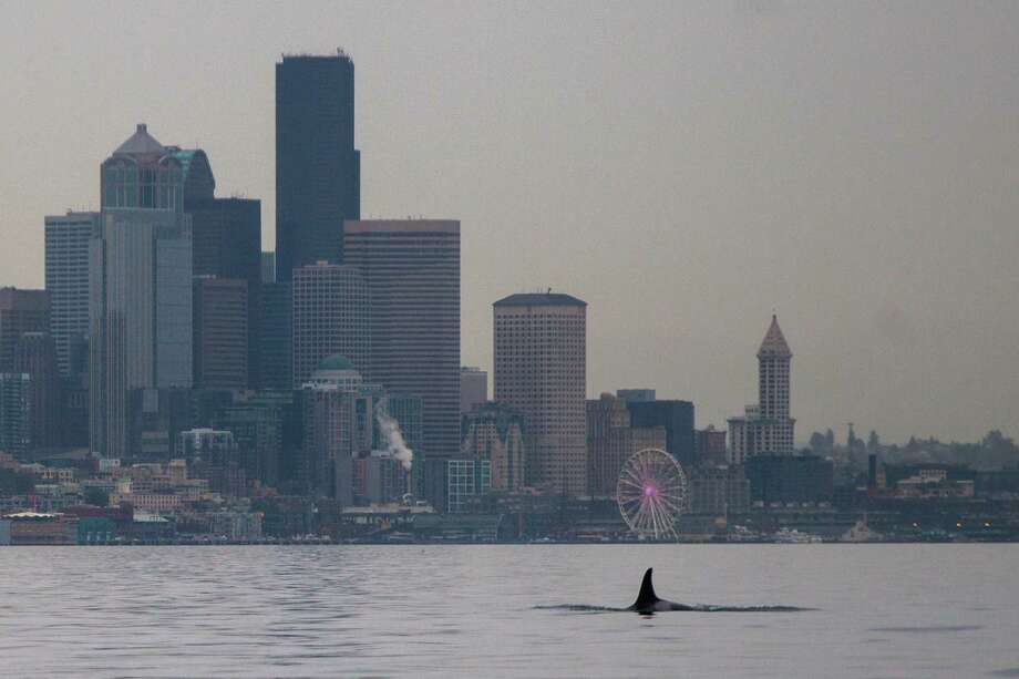 An orca surfaces in Elliott Bay in October 2014. Orcas returned to Seattle this week. Photo: Mike Naiman, Special To SeattlePI / SPECIAL TO SEATTLEPI.COM