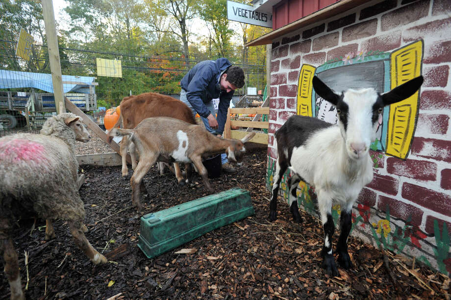 Joe Claps feeds the pet cow, sheep, pigs and goats at Eden Farms in Stamford, Conn., on Thursday, Oct. 23, 2014. The farm is celebrating their 20th year in Stamford. Photo: Jason Rearick / Stamford Advocate