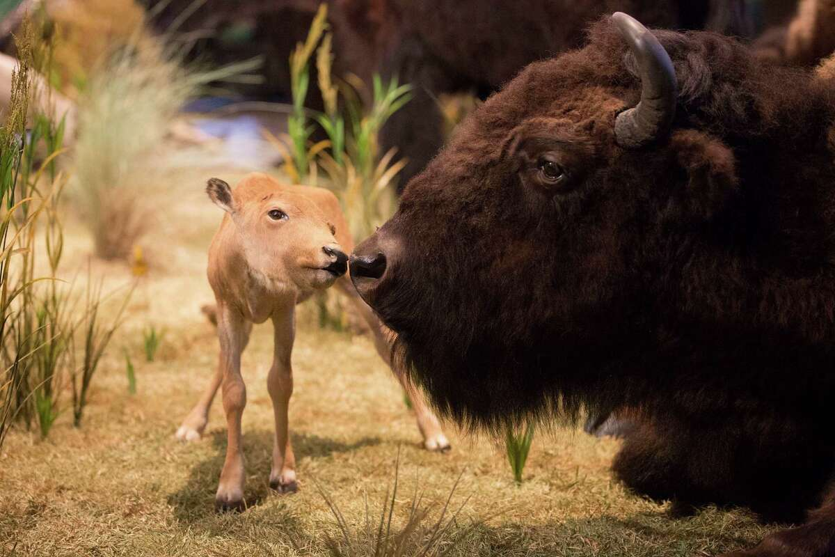Reproduction A female gives birth to one calf after nine months' gestation. The calf will nurse for about 18 months. Males and females come together only during mating season.