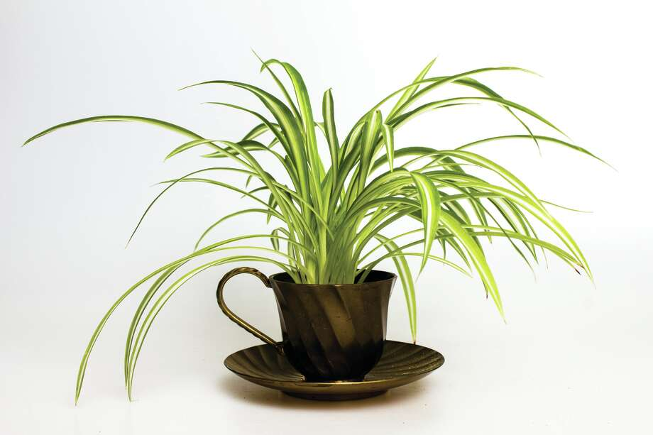 Spider Plant (Fotolia) Photo: Logan Bannatyne / All Rights Reserved