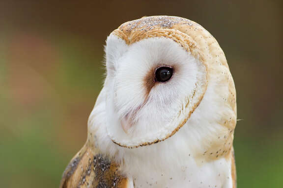Spooky images of owls are everywhere this Halloween but these creatures of the night are amazing.  This barn owl is common around fields and utters a shrieking call.  Photo Credit:  Kathy Adams Clark.  Restricted use.