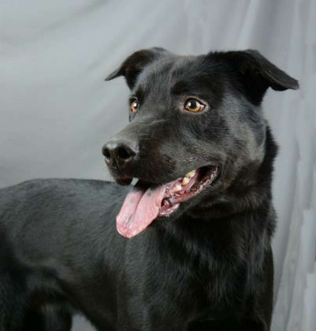 Buddy's been at HHS since May, and he knows it often takes big black dogs the longest to get adopted. This 1 1/2 year-old has spent almost a 1/3 of his life at the shelter, all he really wants is a home. Buddy is a young lab mix full of life and boundless energy. He needs an active person or family. He loves running and playing but does come when called and sits when asked (and he's even learning the agility equipment). This pet is now available for adoption from the Houston Humane Society.
