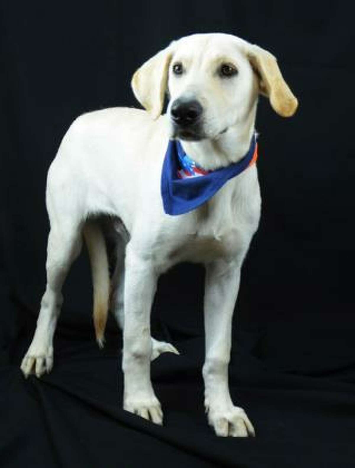 Bucky's a 6 month old lab mix looking for a new home. This friendly guy gets along with everyone he meets, likes kids, and enjoys playing with other dogs. He's very affectionate and loves toys. This pet is now available for adoption from the Houston Humane Society.