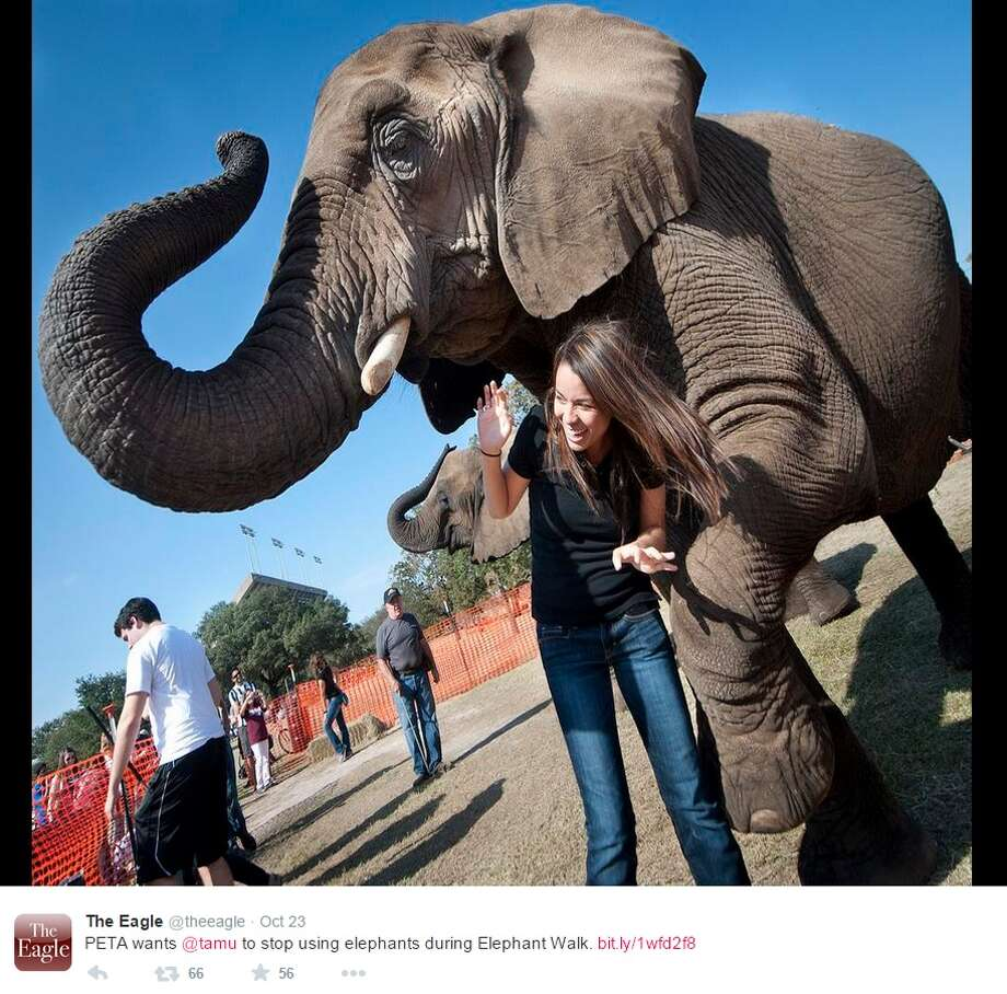 "PETA, or People for the Ethical Treatment of Animals, has asked Texas A&M University-College Station to stop using live elephants during the traditional Elephant Walk. PETA claims the tradition is ""archaic"" and supports ""industry of cruelty and abuse."" Photo: Twitter Screenshots"