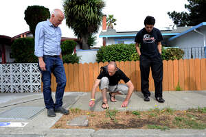 Cal professors on the hunt for edible, nutritious East Bay weeds - Photo