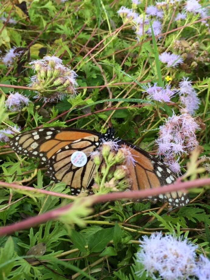 An adult nonarch butterfly was tagged this week during a stopover at Kerrville Schreiner Park on its journey to Mexico.  Photo: Courtesy Cathy Downs