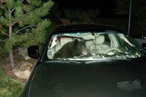 Drivers, be aware of the bears - Photo