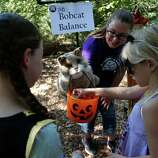 """Naturalist Tiffany McElweenie hands out candy with the help of her stuffed bobcat at the """"Bobcat Balance"""" activity a few selected children, toured the preparations, Friday, Oct. 24, 2014, in Houston in advance of Friday's 13th annual ArBOOretum, a full day festival at the Houston Arboretum & Nature Center."""