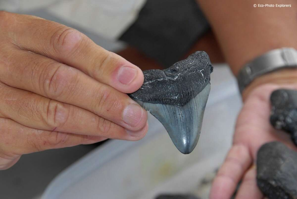 A fossilized megalodon tooth pulled from the Gulf of Mexico near Venice, Florida. The now extinct sharks sometimes measured 60 feet long with a mouth six feet high and six feet wide.Photos by Eco-Photo Explorers