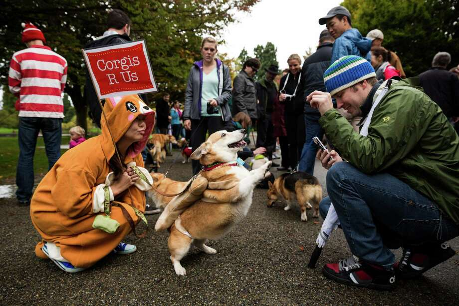"Hundreds of festive, adorable canines and their owners took part in the annual ""A Very Corgi Howloween"" costume walk Saturday, October 25, 2014, at Green Lake in Seattle, Washington. The walk was put on by the Seattle-local ""Corgi's R Us"" MeetUp group. Photo: JORDAN STEAD, SEATTLEPI.COM / SEATTLEPI.COM"