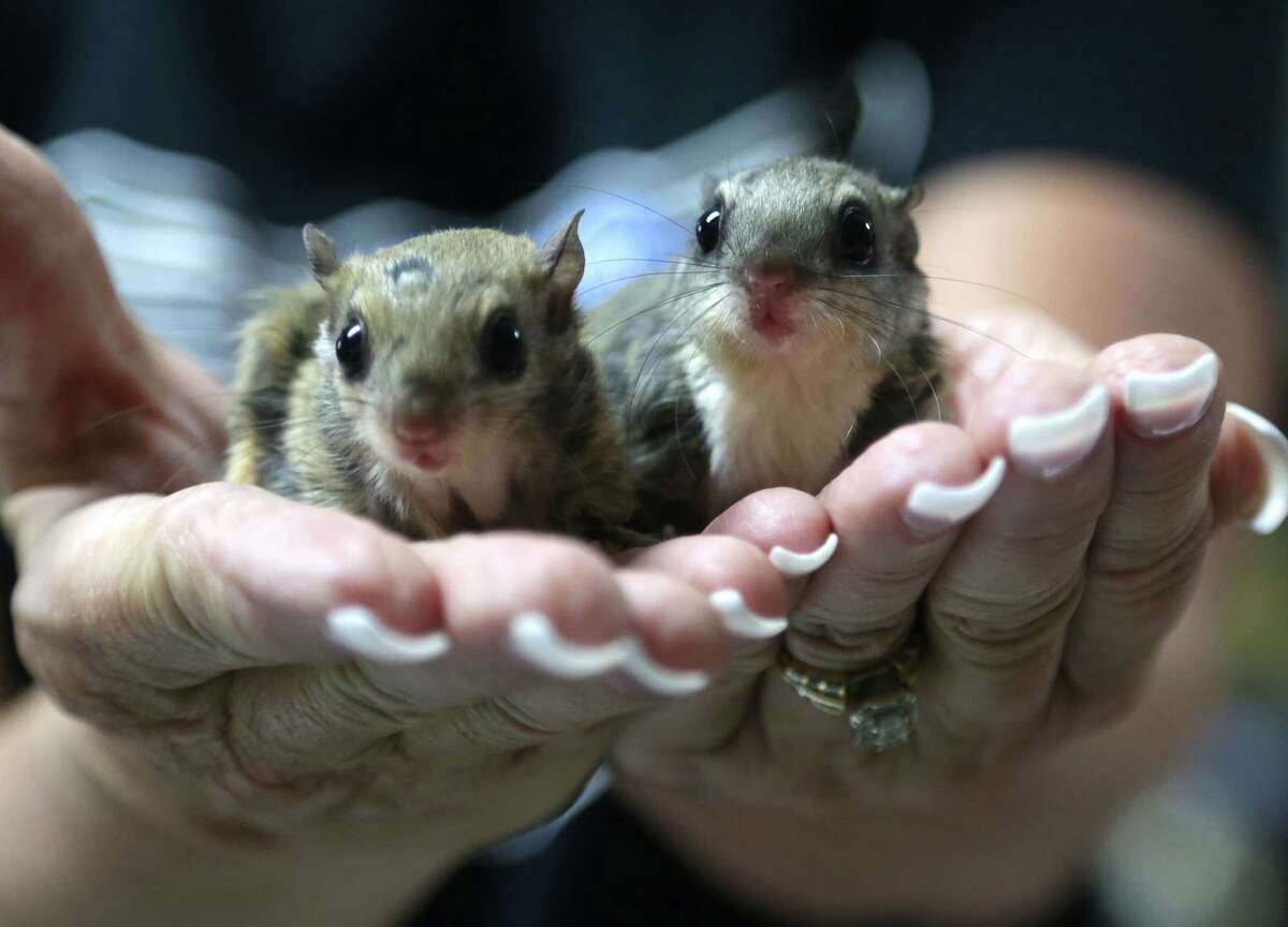 Two flying squirrels are among the many animals being treated at the Magnolia center. Most of the animals that are brought in are the result of human interference.