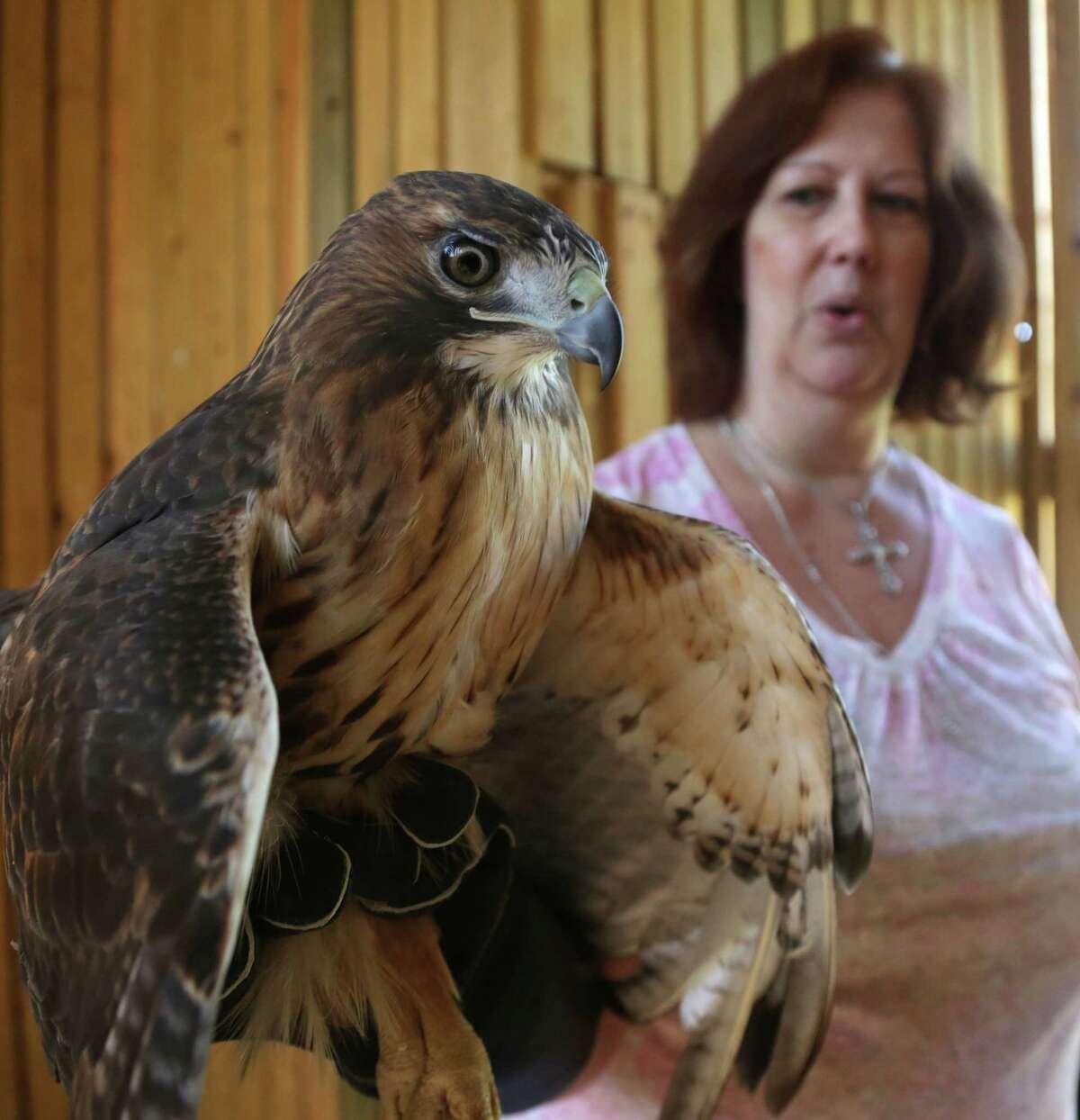 Friends of Texas Wildlife Executive Director Lisa Wolling said the public often mistakenly believes the state's wildlife department is responsible for caring for wild animals like this Red-tailed Hawk. Instead, that's left to wildlife centers and volunteers, including about 40 volunteers in the Houston area.